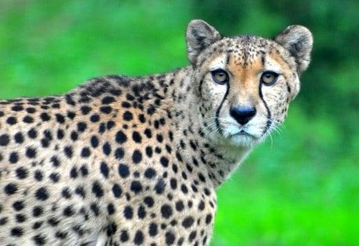 Zoo-Pessac-Bordeaux-tarif-avis-adresse-guépard